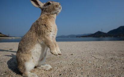 Viaggi curiosi: i conigli del Giappone