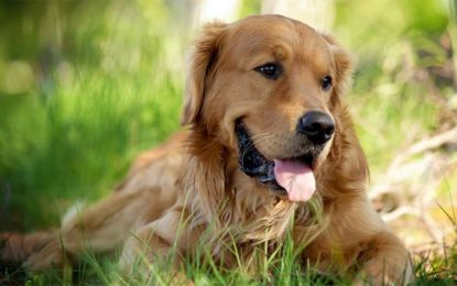 Golden e Labrador cani che regalano felicità
